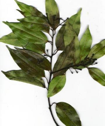 Cinnamomum verum leaves via Wikimedia commons.