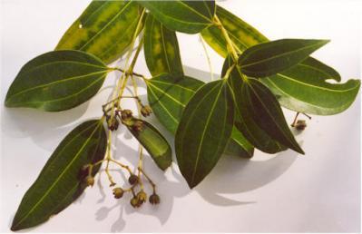 Cinnamomum verum, USDA photo via Wikimedia commons.