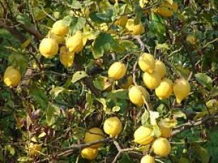 Korfu Zitronen