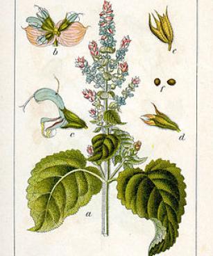 Salvia sclarea Sturm
