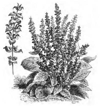 Sauge sclarée Vilmorin-Andrieux 1883