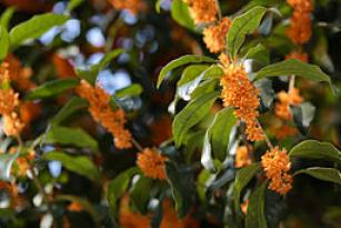 Osmanthus fragrans (orange flowers)