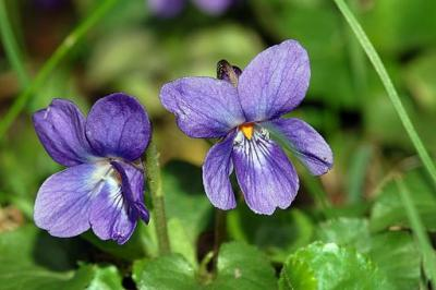 viola odorata, Nied, Frankfurt/Main on pear, Germany by Fritz Geller-Grimm