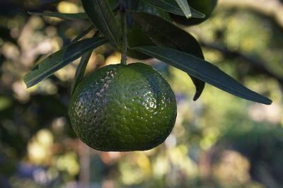 Unripe mandarin