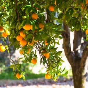 orange tree in orchard