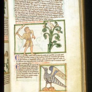 The Cinnamologus bird, as shown in a medieval bestiary, Peraldus.