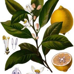 Citrus x limon - Köhler–s Medizinal-Pflanzen-041