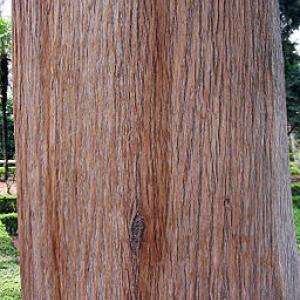 Cupressus sempervirens textura del tronco
