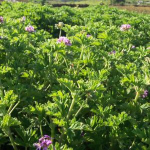 Géranium rosat (Pelargonium graveolens), Reunion Island