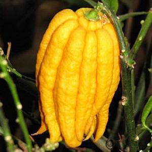 Citrus medica var. sarcodactylis 01