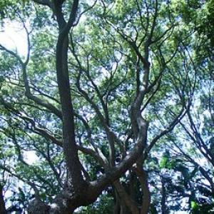 Cinnamomum camphorum