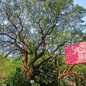 Camphora tree Mar-2013