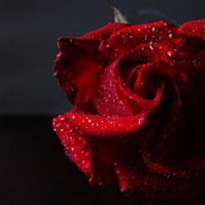 Rosa (3087390578)