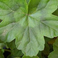 Pelargonium leaf