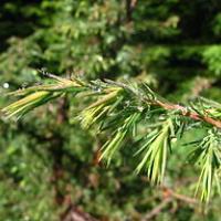 Juniperus communis MF