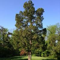 2014-05-13 08 32 55 Eastern Red Cedar at South Riding Golf Club in South Riding, Virginia