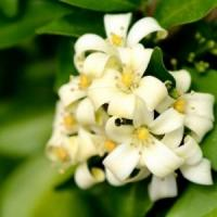Murraya (orange jessamine) flowers.