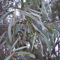 Eucalyptus polybractea leaf